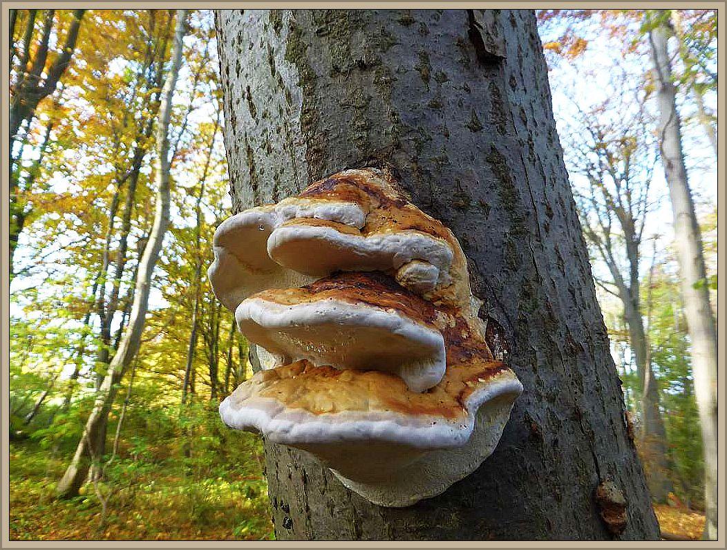 Noch junge, dachziegelig übereinander wachsende Fruchtkörperkonsolen des Rotrandigen Baumschwamms (Fomitopsis pinicola) mit Gutatationströpfchen auf der Unterseite. Er heißt auch Fichtenporling, kommt aber häufig auch an anderen Bäumen vor. Hier ist es Erle.