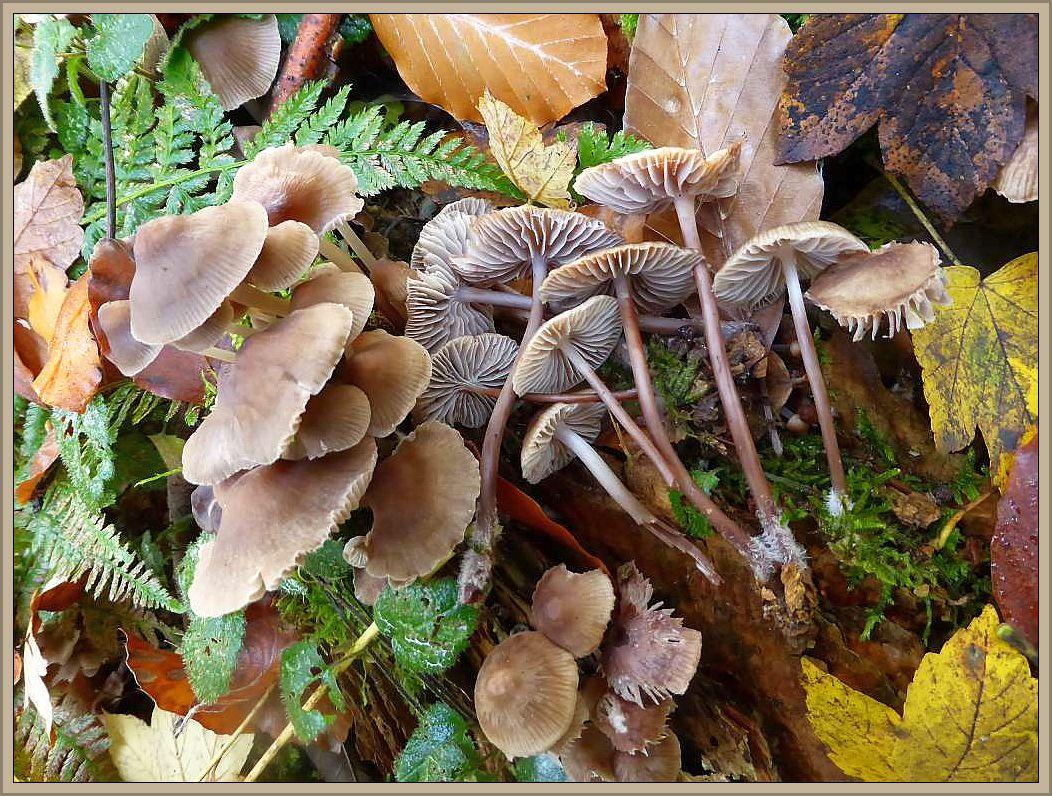 Ein typischer und häufiger Spätherbstpilz an Laubholstümpfen ist der Gefeckte Helmling (Mycena maculata). Er wächst gerne in dichten Büscheln. Der graubraune bis rotbraun überlaufene Hut sowie die grauen Lamellen können mitunter gefeckt sein. Der graubraune, zur Basis hin braunrote Stiel ist am Grunde zottig - haarig. Ungenießbar. Standortfoto im Beketal am 01.11.2015.