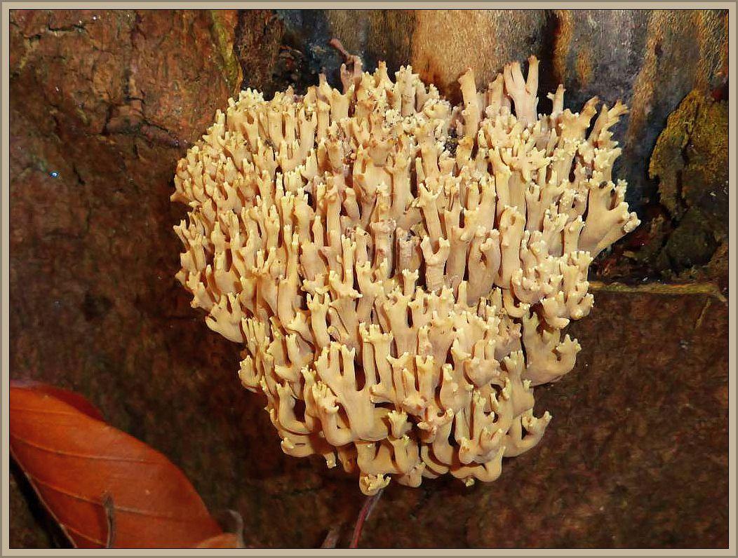Neben zahlreichen Hallimasch am selben Laubholzstubben ein frischer Korallenpilz, offensichtlich eine Steife Koralle (Ramaria stricta). Ungenießbar.