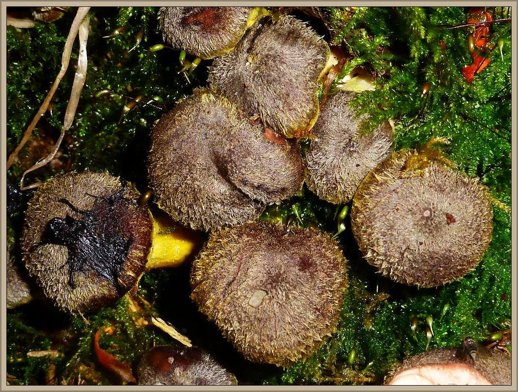 Am selben Stubben, an dem die großen Hallimasch wuchsen, auch noch ganz junge Fruchtkörper. Hier zeigt sich wieder einmal, wie veränderlich die Sammelgattung der Hallimasch - Arten sein kann. Sehr dunkle Hüte, mit gelblichen Schüppchen, möglicherweise ist es der Gelbschuppige Hallimasch (Armillaria bulbosa). Essbar, roh giftig!