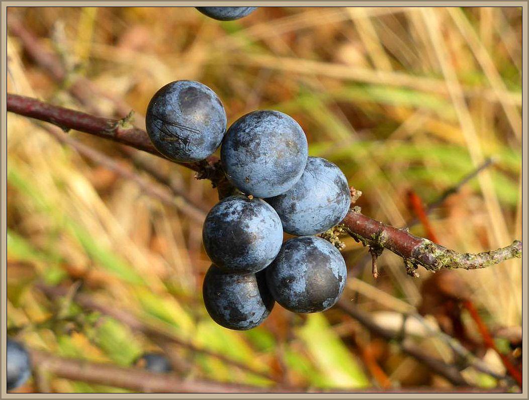 Am Waldrand, in südlich exponierter Lage bekommen die Schlehen ihre letzte Reife, dann braucht es Frost und wer Schlehenwein ansetzen möchte, kann sie dann ernten.