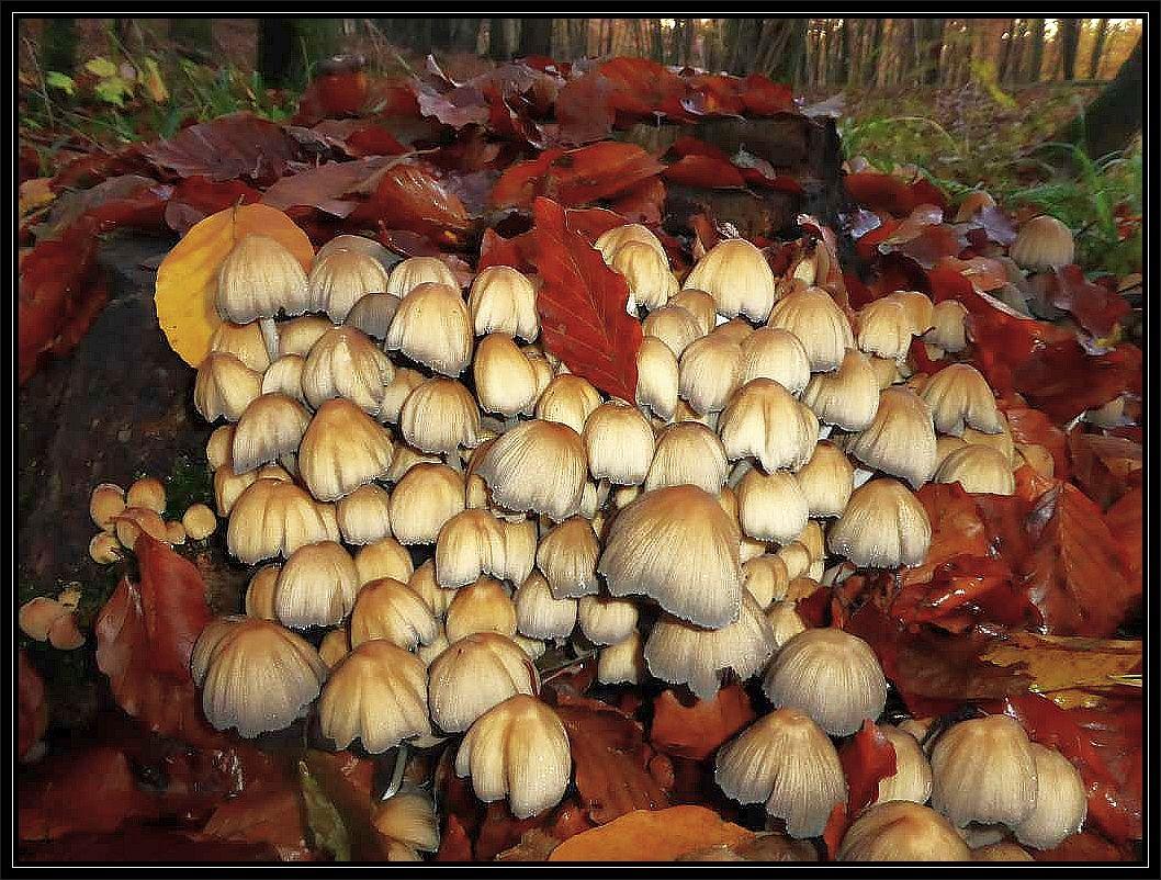 Auch Tintlinge gibt es momentan noch sehr viele, nicht nur auf meinem Strohballen auf dem Hof. Hier sind es jung essbare Glimmertintlinge (Coprinus micaceus), die ich am 04. November im Schlemminer Staatsforst am Standort fotografierte. Auch Specht-, Schopf- und Grauer Faltentintling sind noch oft zu sehen.