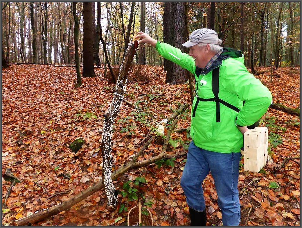 Ein langer Laubholz - Knüppel überzogen von unzähligen Pilzfruchtkörpern.