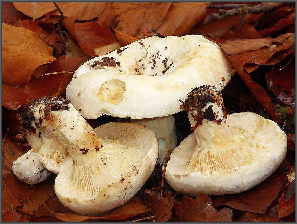 Hier schoben auch wieder frische Erdschieber (Lactarius vellereus) aus dem Waldboden. In Sibirien ein beliebter Speisepilz, für unsere herkömmlichen Zubereitungsmethoden jedoch kompltt ungenießbar. Standortfoto.