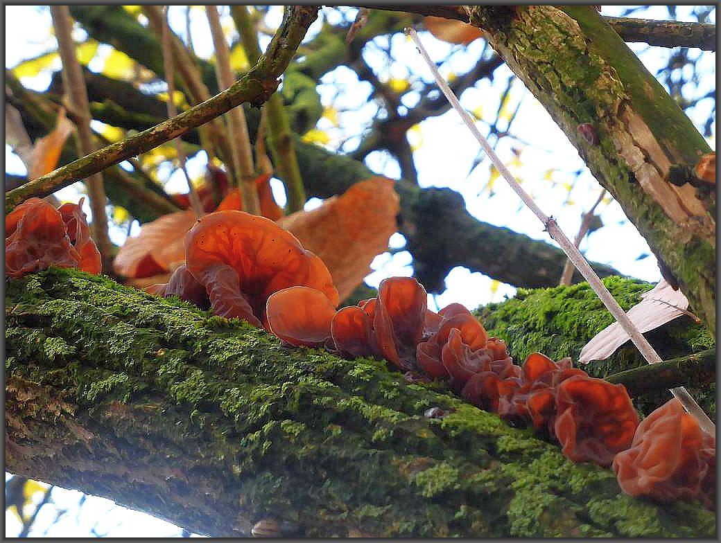 Eine Reihe von Judasohren (Hirneola auricula - judae) hoch oben am alten Holunderstamm. Besonders in den Wintermonaten läßt sich der beliebte Pilz reichlich einsammeln.