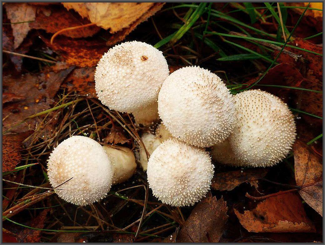 In unmittelberer Nachbarschaft ein Büschel jung essbarer Flaschen - Stäublinge (Lycoperdon perlatum). Standortfoto.i