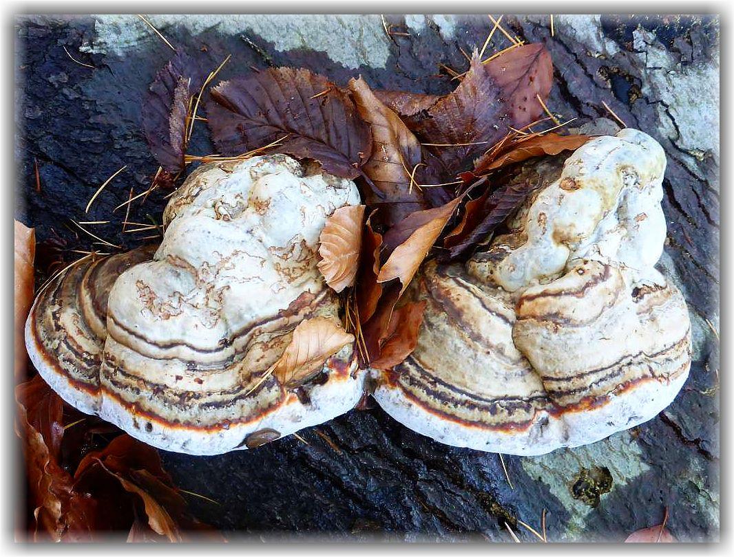 Viele Gestecke werden auch mit oder sogar auf echten Pilzen gefertigt. Besonders geiegnet sind dazu Porlinge. Hier sehen wir den Echten Zunderschwamm (Fomes fomentarius). Die Pilze müssen vorher aber auf der Heizung getrocknet werden, damit sie nicht schimmeln. Besser geeignet sind aber Rotrandige Baumschwämme oder Eichenwirrlinge. Sie halten länger und zerfallen nicht gleich bis zum nächsten Jahr, falls das Gesteck bis dahen in einer Plastik - Tüte trocken gelagert werden soll. Auch Zunderschwämme können im Folgejahr noch gut und fest sein, aber die Gefahr ist höher, dass sie von Insekten ausgehölt und bröckelig werden. Standortforo am 04.11.2015 im Schlemminer Staatsforst.