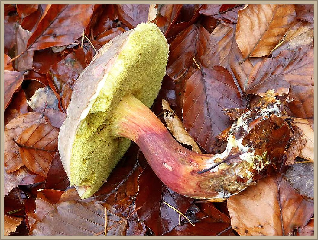Ein schönes Derbes Rotfüßchen (Xerocomus pruinatus) noch im Schlemminer Forst am Mittwoch, dem 18.11.2015. In anderen Jahren konnten wir ihn um diese Zeit mitunter noch recht zahlreich finden, in diesem Jahr ist allerdings die Luft raus. Essbar, aber etwas säuerlich im Geschmack.