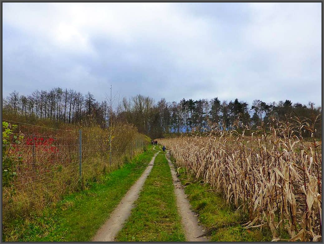 Der Wanderweg durch die Döpe neigt sich dem Ende zu. Rechts ein wohl vergessenes Maisfeld.
