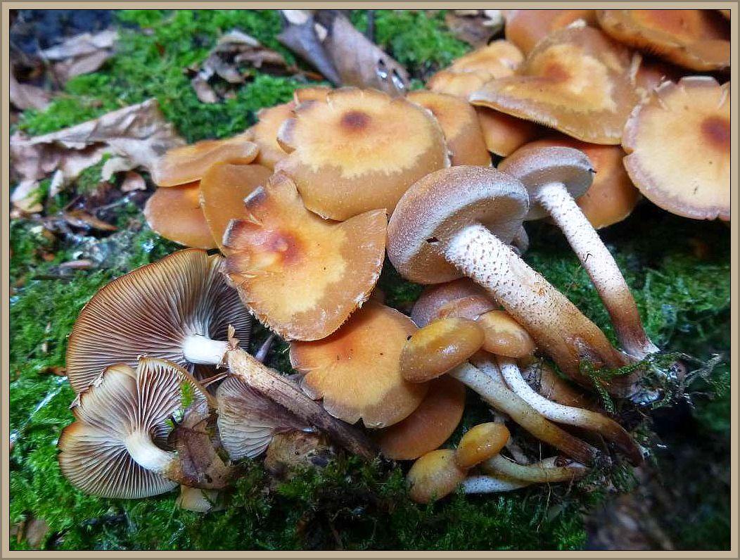 Stockschwämmchen (Kuehneromyces mutabilis).