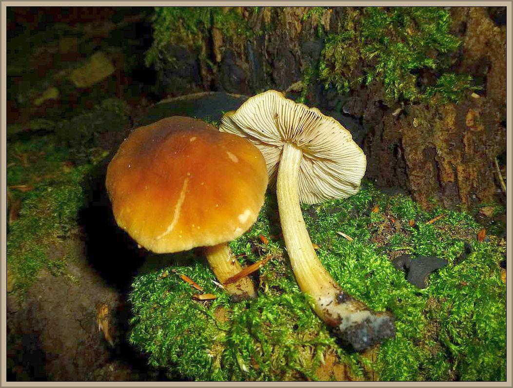 Gelbstieliger Dachpilz (Pluteus romellii). Der relativ kleine Dachpilz ist gut an seinemsepiabraunen Hut und dem gelben Stiel zu erkennen. Er wächst zerstreut bis häufig an altem Laubholz, Stümpfen und liegenden Ästen. Kein Speisepilz.