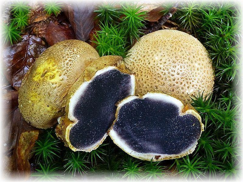 Der giftige Dickschalige Kartoffel - Hartbovis (Scleroderma citrinum) ist ein Bauchpilz. Die Sporen werden im inneren des Fruchtköpers, im Bauch, ausgebildet.