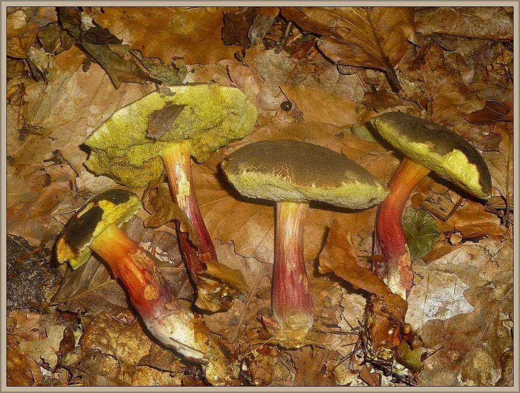 Rotfuß - Röhrling (Xerocomus chrysentheron). Das Rotfüßchen ist wohl der häufigste Röhrling in unseren Wäldern. Wir finden ihn im Sommer und Herbst in Laub- und Nadelwäldern, Sein zunächst dunkelbrauner Hut reßt bei der weiteren Entwicklung strak auf und wird rissig - felderig. Der schlanke Stiel ist besonders in der unteren Hälfte mehr oder weniger intensiv rot gefärbt. Sein gelbes, schnell schwammig werdendes Fleisch riecht fruchtig und geht schnell in Fäulniss über oder die Pilze werden vom parasitischen Goldschimmel befallen und verfärben sich über grauschimmelig zunächst weiß und bei Sporenreife des Goldschimmels intensiv gelb. Es sollte beim Sammeln der essbaren Rotfüßchen stets auf Schimmelbefall geachtet werden. Die Exemplare sind nicht einzusammeln, der der Goldschimmel macht sie ungenießbar oder sogar giftig.