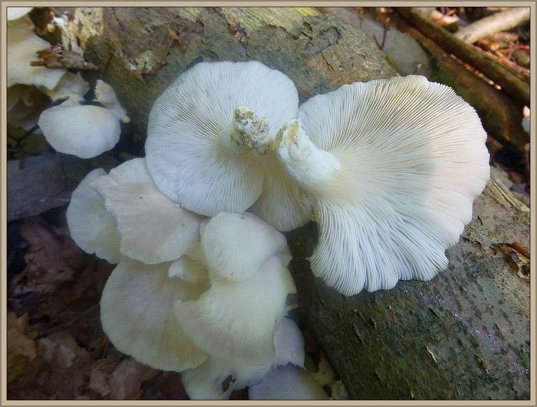 Sommer - Austernseitling, Lungenseitling (Pleorotus pulmonarius). Im Gegensatz zum herkömmlichen Austernseitling finden wir diese weißliche, etwas kleinere und dünnfleischige Art im Sommer, besonders auch im Hochsommer. Anscheinend ist er wärmeliebend. Hier war es liegendes Buchenholz im Radebachtal, wo er im Sommer 2013 reichlich und ergiebig wuchs. Bei weißen Seitlingen ist aber Vorsicht angebracht, denn es soll einen gefährlich giftigen Ohrförmigen Seitling geben, der in Asien schon Todesfälle verursacht haben soll. Er soll keinen Stiel ausbilden.