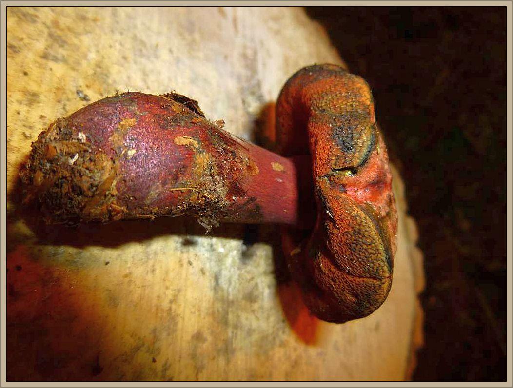 Trügerischer Hexen - Röhrling (Boletus mendax). Dieser Dickröhrling wurde erst im Jahre 2013 neu beschrieben und vom ähnlichen Netzstieligen Hexen - Röhrling unterschieden. Tatsächlich habe ich die Art auch vormals immer mal wieder in Ufernähe des kalkhaltigen Radebachs bei Blankenberg gefunden und konnte sie nie richtig einordnen. Ein Netz ist bei meinen Kollektionen nicht auszumachen. Eher erscheint der Stiel sehr dicht purpurrot beflockt, aber ein Flockenstieliger Hexen - Röhrling ist definitiv auszuschließen. Das Fleisch ist im Schnitt weinrötlich durchzogen, besonders im Stiel. Die Pilze sind meist relativ schlank für einen Dickröhrling und auch der Hut ist ziemlich stark purpurot überlaufen. Über die Genießbarkeit gibt es keine Angaben.