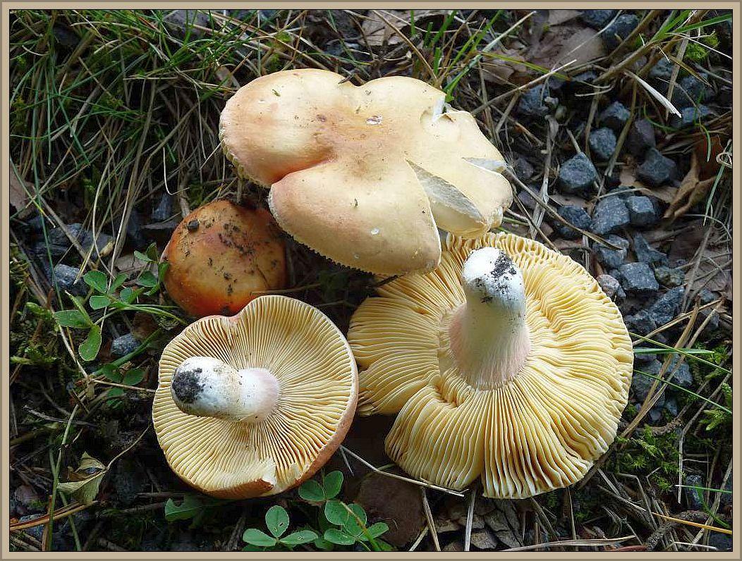 Rosastieliger Täubling (Russula roseipes). Der essbare Täubling ist in Mecklenburg - Vorpommern extrem selten.