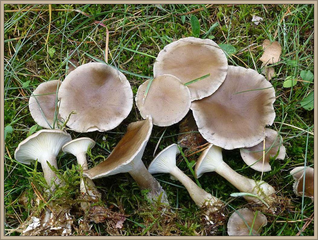 Keulenfuß - Trichterling (Clitocybe clavipes).