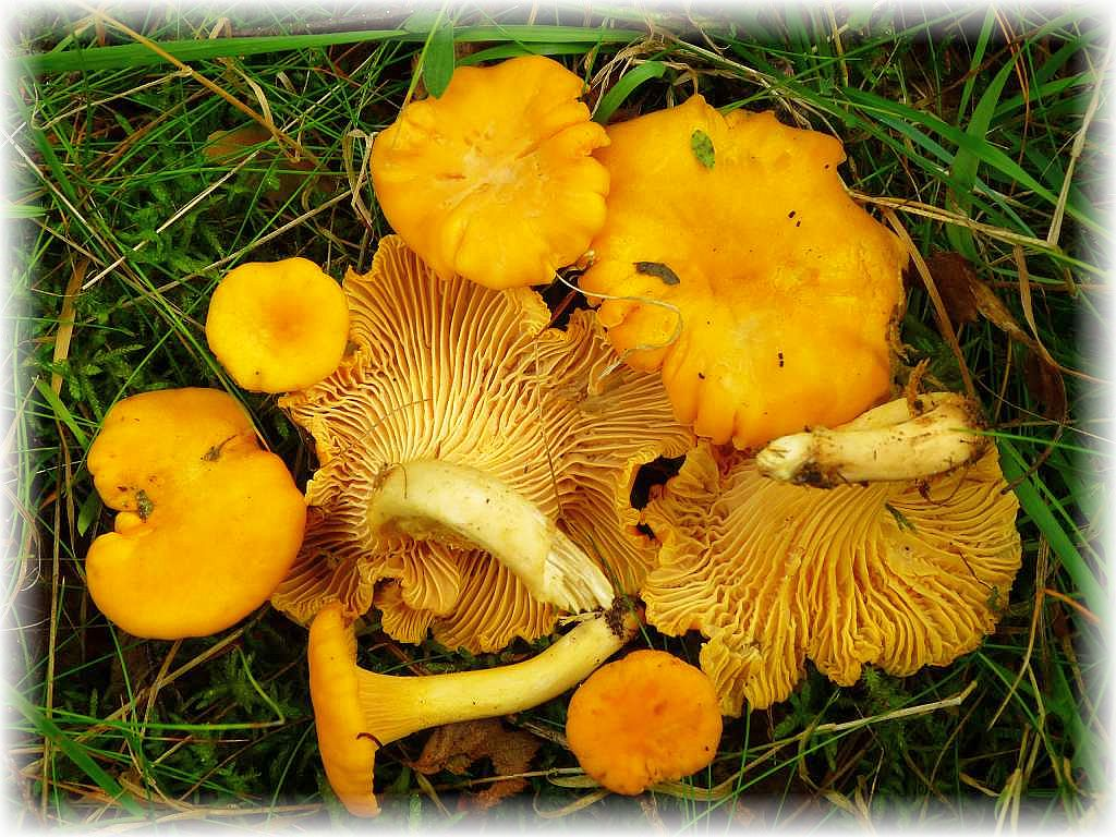 Der gemeine Pfifferling (Cantharellus cibarius) ist in den weitläüfigen Wäldern der Ortschaft Demen ein weit verbreiteter und häufiger Speisepilz.