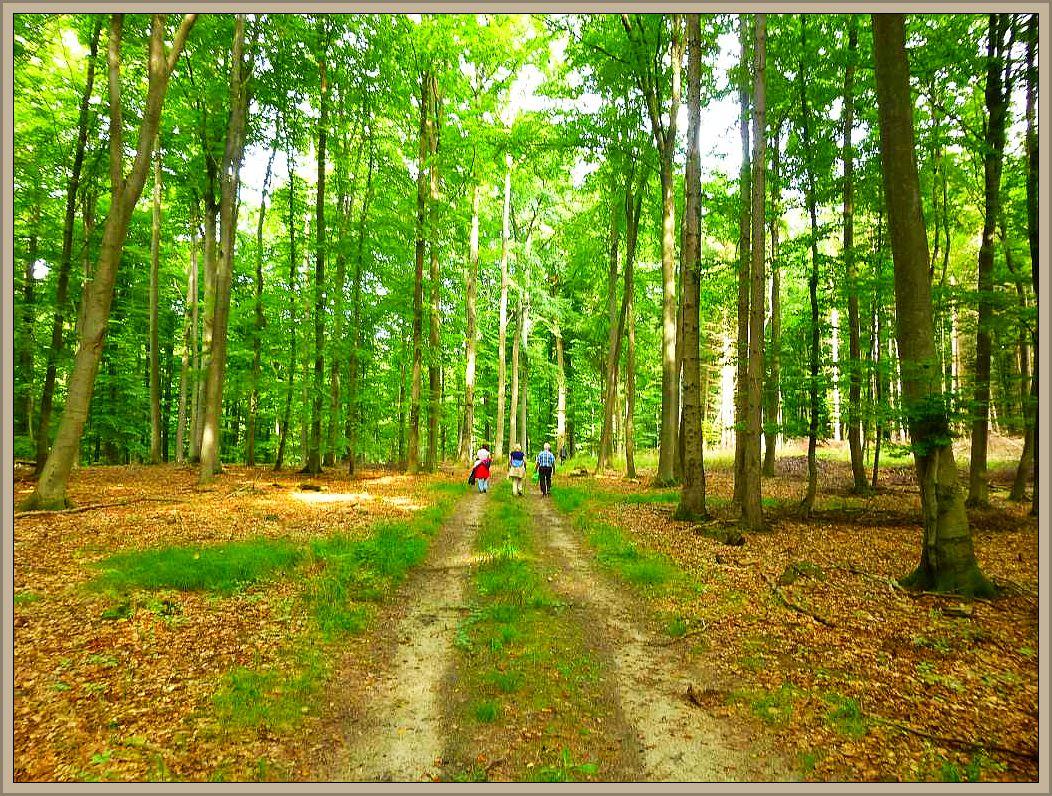 Das Eichholz bei Crivirt besticht durch seine wunderbaren Buchenbestände und ist in jeder Hinsicht eine Pilzwanderung wert. Hier sehe wir einen ähnlichen Buchenforst bei Sterey in Schleswig - Holstein.