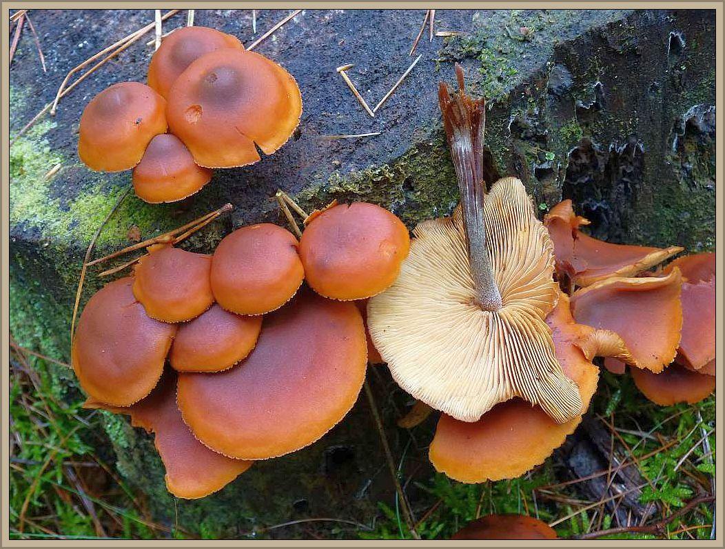 Rotbrauner Flämmling (Gymnopilus picreus).