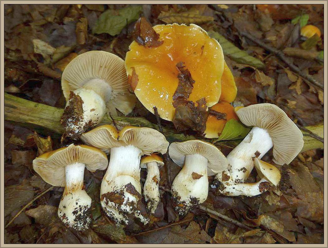 Galliger Schleimfuß (Cortinarius vibratilis) Ungenießbar.