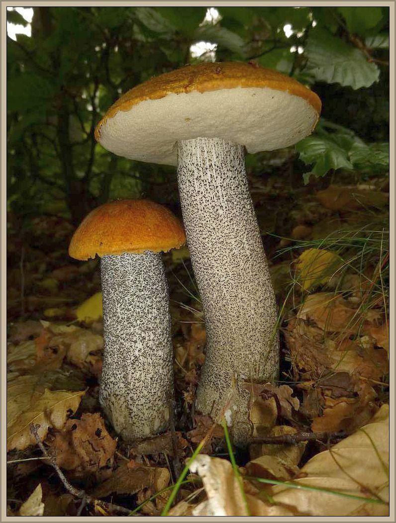 Birken - Rotkappen (Leccinum testaceoscabrum).