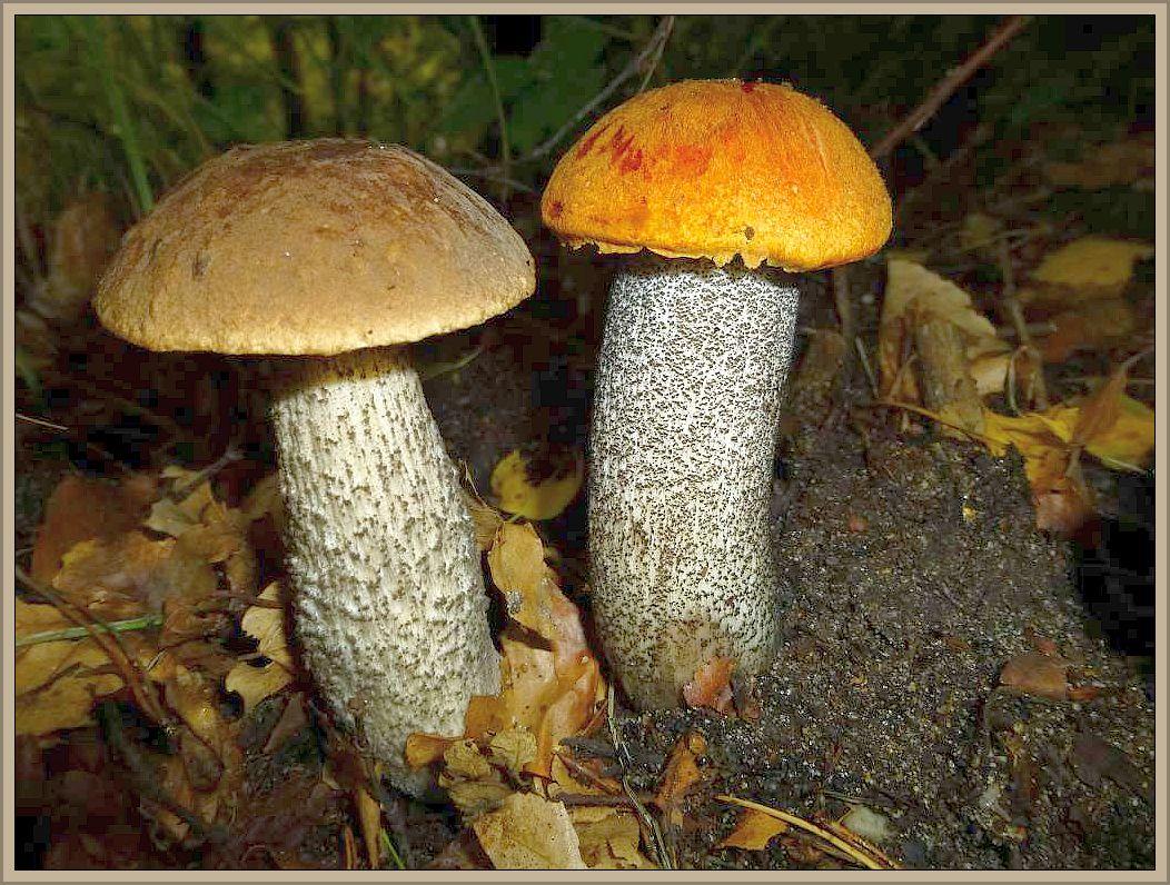 Zwei Rauhfuß - Röhrlinge: links Birkenpilz (Leccinum scabrum) rechts Birken - Rotkappe (Leccinum testaceoscabrum).