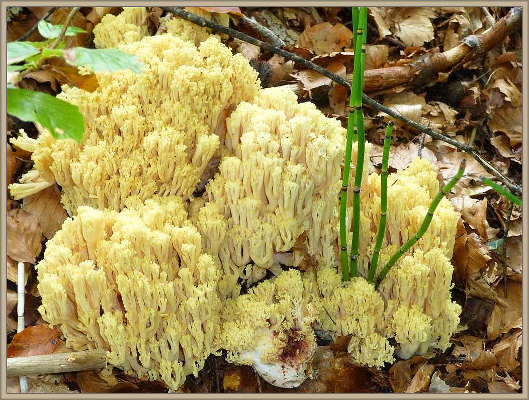 Blutrotfleckende Koralle (Ramaria sanguinea). Große, kompakte Koralle unter Buchen auf Kalk. Wächst an diesem Standort im Radebachtal in enger Gemeinschaft mit der Dreifarbenen Koralle, erscheint aber nicht jedes Jahr. Meist wechseln sich sogar beide Arten in der Jahresfolge ab. Sie ist von ähnlichen, gelblichen Korallen durch den blutrotfleckende Strunk leicht zu unterscheiden. Selten und kein Speisepilz. Standortfoto im Herbst 2013.