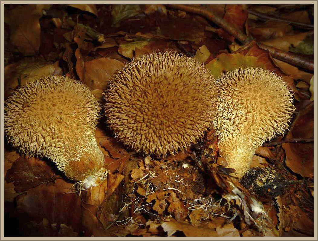 Igel - Stäubling (Lycoperdon echinatum).