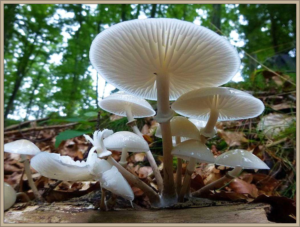 Der Buchen - Schleimrübling Oudemansiella mucida) ist besonders im Herbst an luftfeuchten Standorten an alten Buchen und deren Stämmen und Ästen zu finden. Mit seinen zunächst grauen und später glasigweißen, durchscheinenden, sehr schleimigen Hüten und dem grauweißen, dünnen, beringten Stiel sowie das meist büscheligge Wachstum, leicht zu erkennen. Obwohl der Pilz praktisch essbar wäre, dürfte er durch seine Wässrigkeit kaum empfehlenswert sein. Zum Ausgleich bietet er aber oft ein dankbares Fotomotiv.