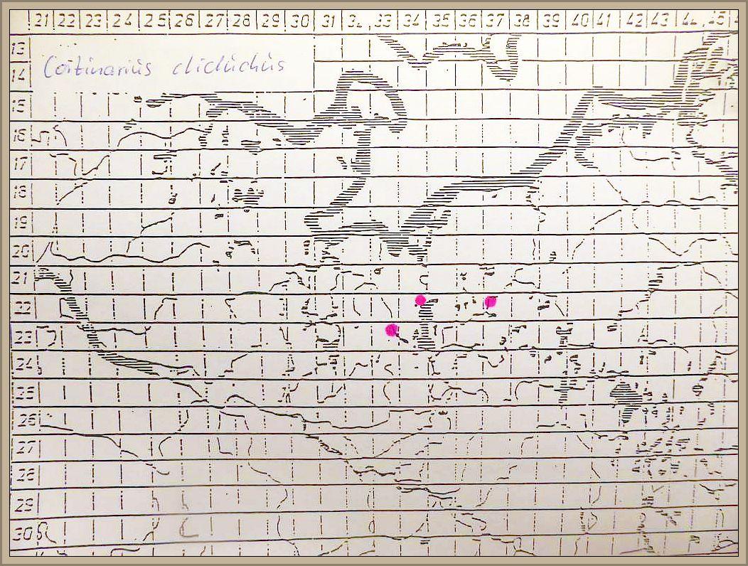 Cortinarius cliduchus Fr. - Gelbgegürtelter Schleimfuß