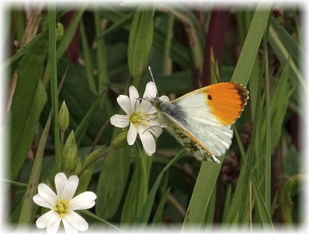 Das warme und sonnige Wetter lockte heute, neben weiteren Insekten, auch diesen Aurorafalter (Anthocharis cardamines) hervor. Die Männchen sind an ihren orangen Flügelspitzen leicht kenntlich, so Chris Engelhardt weiter. auch diesen