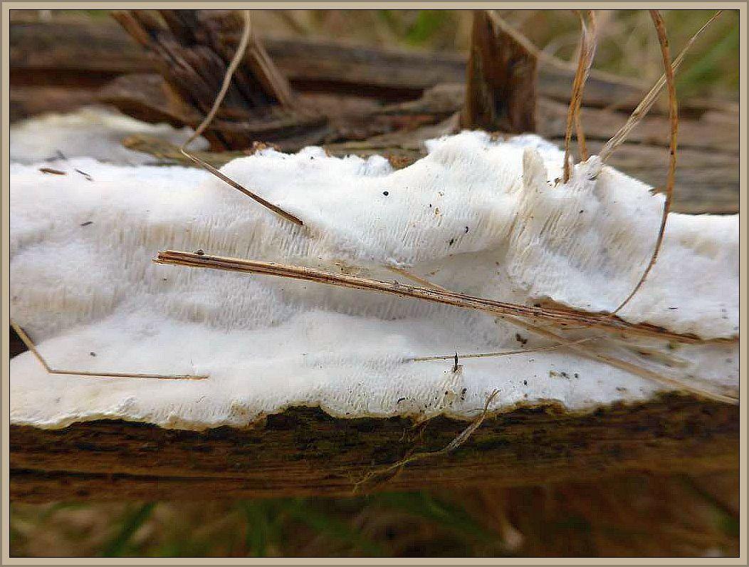 Auf der Unterseite eines auf dem Boden liegenden Nadelholzstamm eines Weidezaunes wuchs in flächiger ausdehnung (Resupinat) die Grauweiße Nadelholztramete (Diplomitoporus lindbladii).