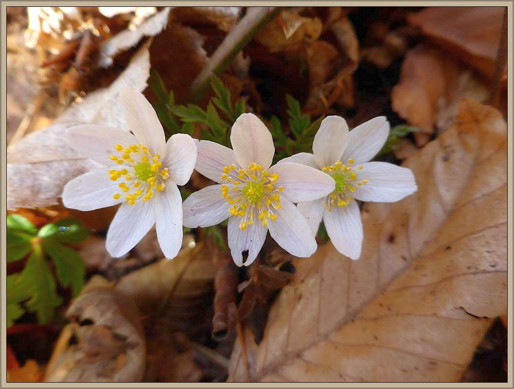 Die Anemonen haben ihre Blüten entfaltet und bilden in manchen Wäldern gewaltige Massenbestände.