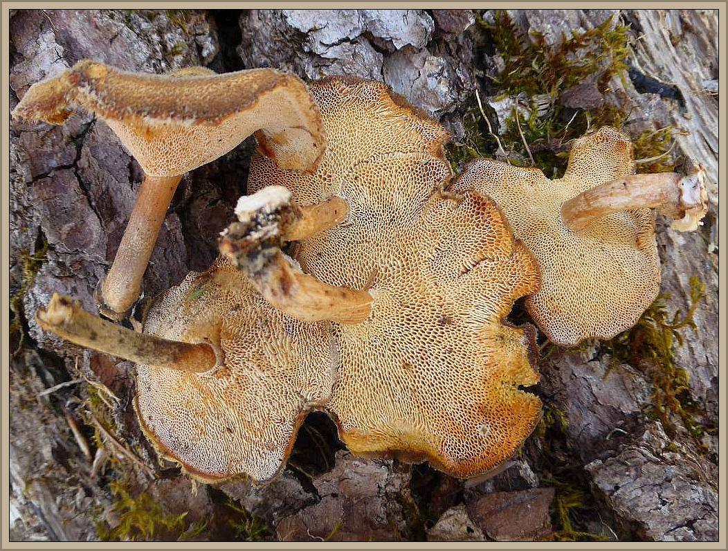 Der ungenießbare Winter - Stielporling (Polyporus brumalis) wird ab April vom sehr ähnlichen Mai - Stielporling abgelöst. Dessen Poren sind wesentlich feiner und mit blossem Auge kaum zu erkennen.