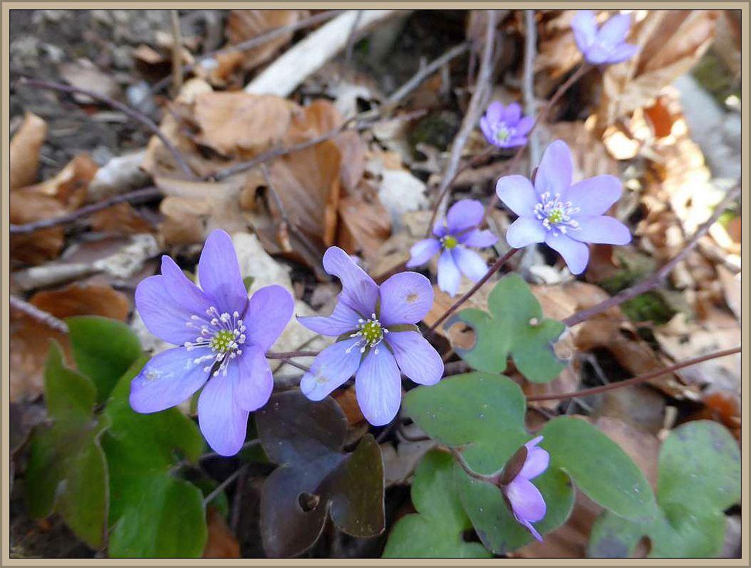 Wesentlich seltener sind da schon die blauen Leberblümchen.