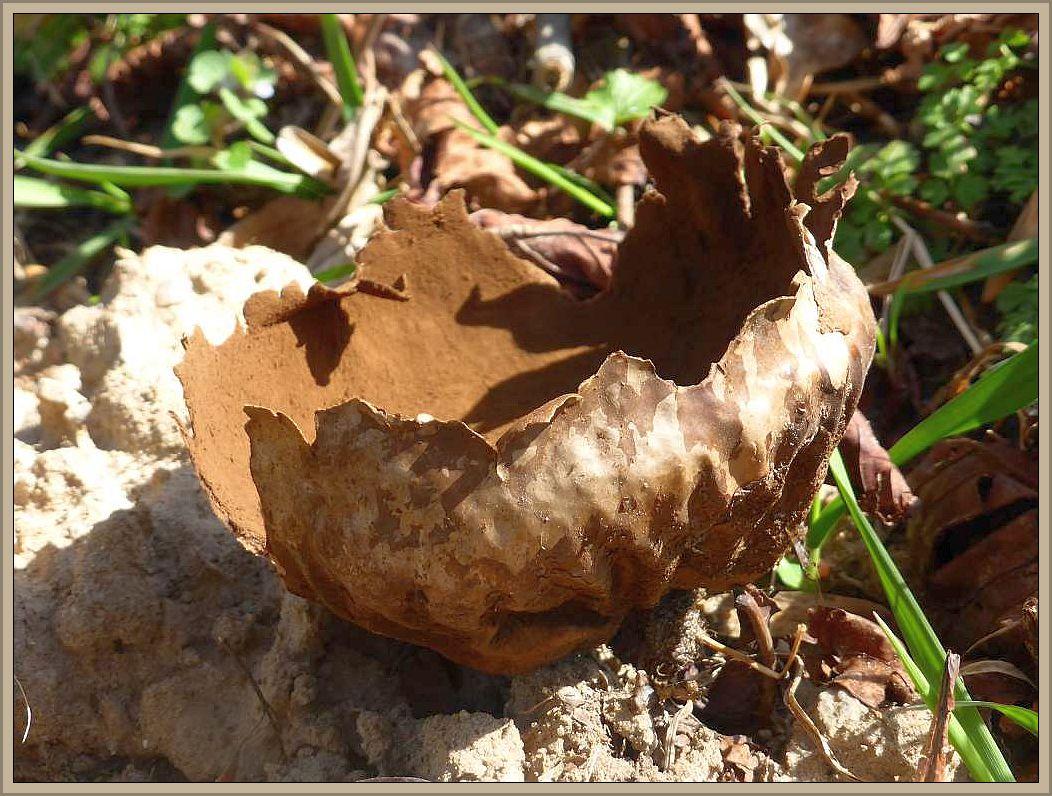 Der sterile Überrest eines Hasen - Stäublings (Calvatia utriformis) vom letzten Jahr.