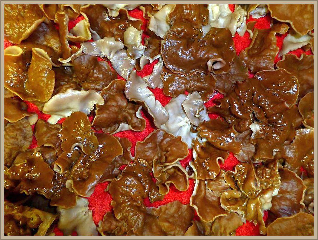 Schildförmige Scheibenlorcheln (Gyromitra ancilis) nach dem Waschen noch einmal ausgebreitet für ein Foto. Der Speisewert wird sehr unterschiedlich bewertet, von giftig bis sehr guter Speisepilz. Meine persönlichen Erfahrungen besagen, das sie nicht so aromatisch sind wie die ähnlichen Morchelbecherlinge. Sie sollten aber unbedingt gut durchgegart werden, da sie roh stark giftig sein sollen!