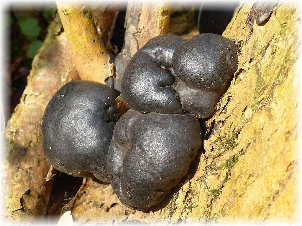 Bereits nach wenigen Schritten waren sie wieder da, die Holkohlenpilze (Daldinia concentrica). In vielen, andren Laubwäldern Mecklenburgs sucht man sie vergebens.