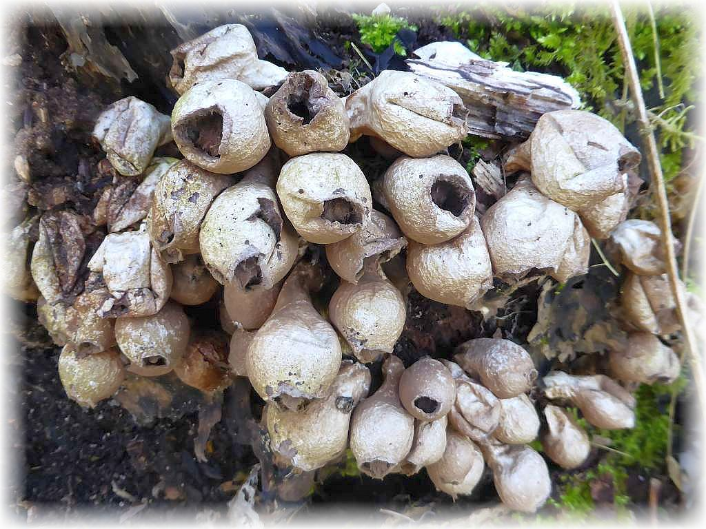 An einem alten, bemoosten Eschenstamm ebenfalls alte Überreste von Birnen - Stäublingen (Lycoperdon pyriforme) aus dem letzten Herbst.