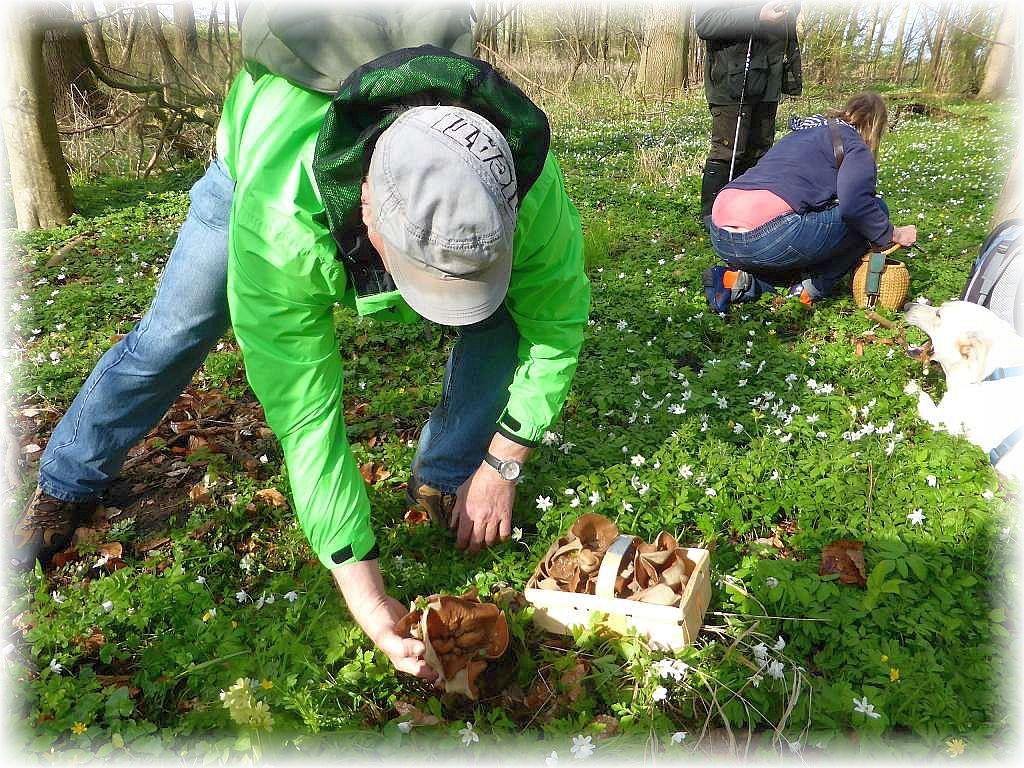 Und dann brach das Sammelfieber los. Große und korbfüllende Morchelbecherlinge immer wieder in dem frischen Grün versteckt. Man mußte schon obacht geben, um nicht noch welche zu zertreten.