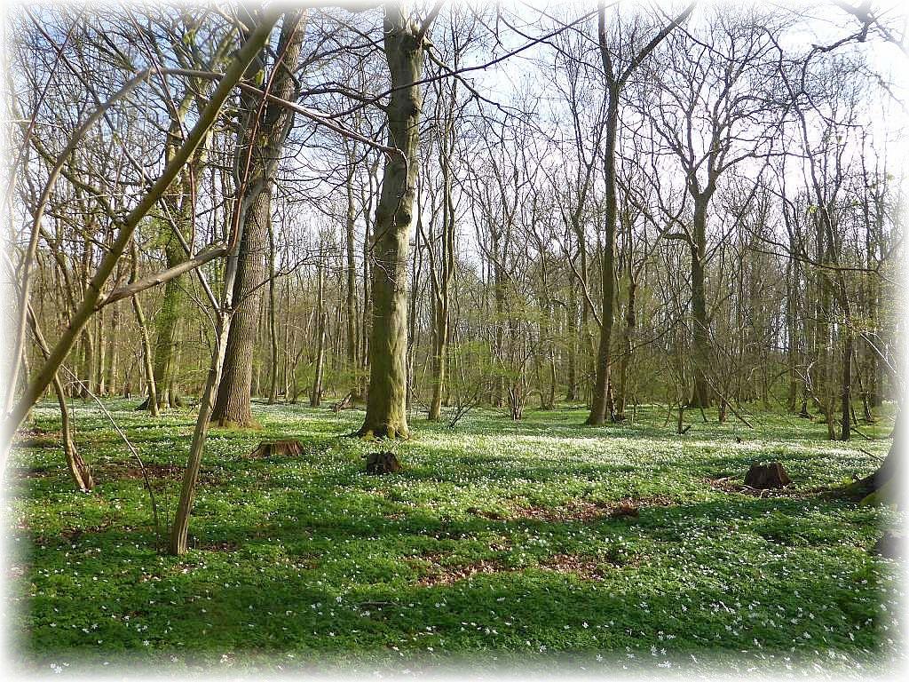 Der Wald war noch lichtdurchlässig und das nutzten nicht nur die Annemonen zur vollen Blüte. Auch Wald - Schlüßelblumen, Sumpfdotterblumen und Scharbockskraut erfreuten unsere Augen.