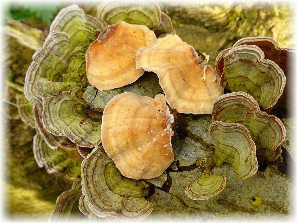 Sehr dekorativ sind die häufigen Samtigen Schichtpilze (Stereum subtomentosum) an alten Laubholz - Ästen. Schichtpilze besitzen auf der Unterseite keine ausgeprägte Fruchtschicht, sondern sind völlig glatt.