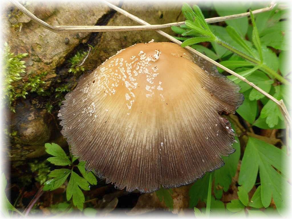 An einem feucht liegenden Laubholzstamm wuchs auch dieser Tintling. Es könnte sich um den um diese Jahreszeit häufigen Haus - Tintling (Coprinus domesticus) handeln. Kein Speisepilz.