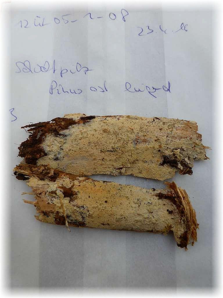 Mit Kennummer und Datum versehen wurde beispielsweise dieser Schichtpilz eingetütet und wartet nun auf seine mikroskopische Untersuchung. Wichtig ist natürlich auch das Substrat auf dem erwuchs und welchen Zersetzungsgrad, der in drei Stufen abgefragt wird, es besitzt.