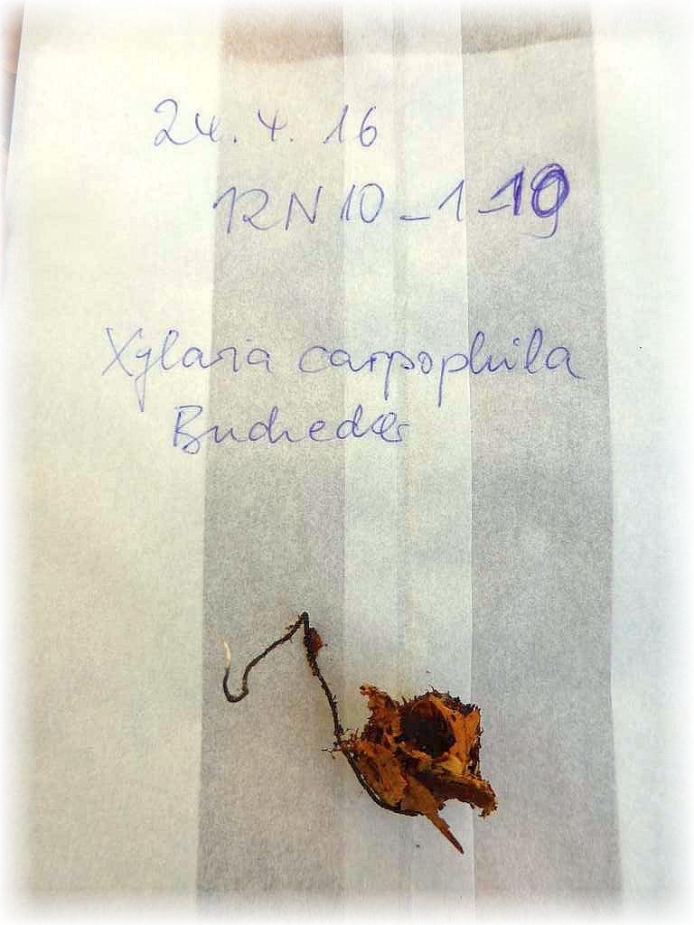 Die Buchenfruchtschalen - Holzkeule (Xylaria carpophila) kann auch ohne Mikroskop eindeutig bestimmt werden. Jeder Fund wird einetütet, fotografiert, getrocknet und Herbarisiert.