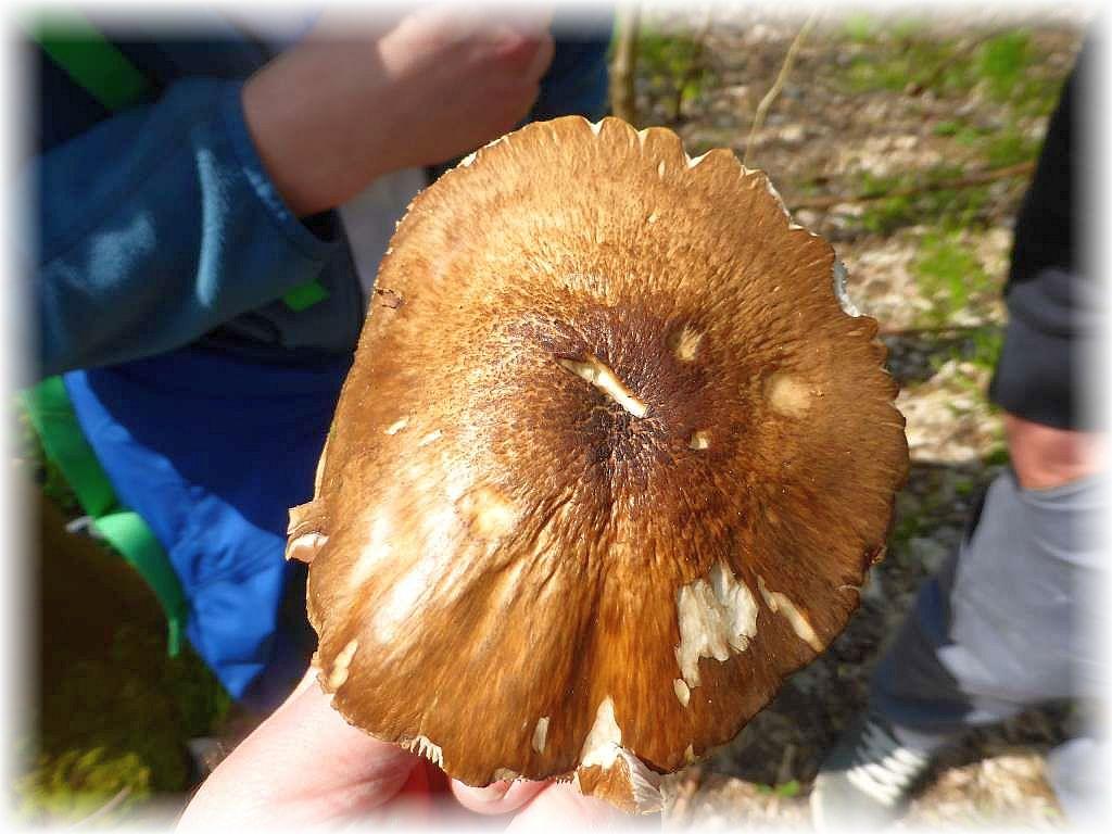 Die Huroberfläche rehbraun gefärbt - es ist ein Rehbrauner Dachpilz (Pluteus atricapillus). Essbar, aber Geschmackssache!