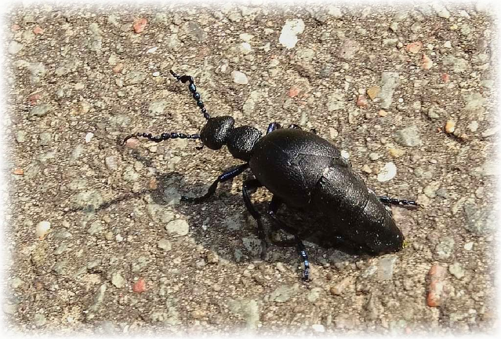 Häufig kreutzten heute Schwarzblaue Ölkäfer (Meloe proscarabaeus) unseren Weg. Sie erscheinen nur wenige Wochen im Jahr und sind allgemein selten. Sie brauchen einen sehr speziellen Lebensraum, denn ihre Larven parasitieren in den Nestern von Sandbienen, erläutert Chris sein Foto.