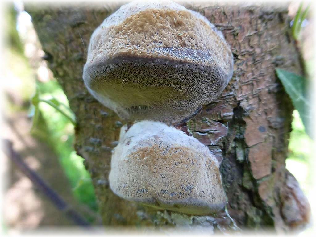 An Schlehenbüschen fanden wir hier den Pflaumen - Feuerschwamm (Phellinus tuberculosus). Er wächst an holzigen Rosengewächsen und verursacht im Holz eine Weißfäule.