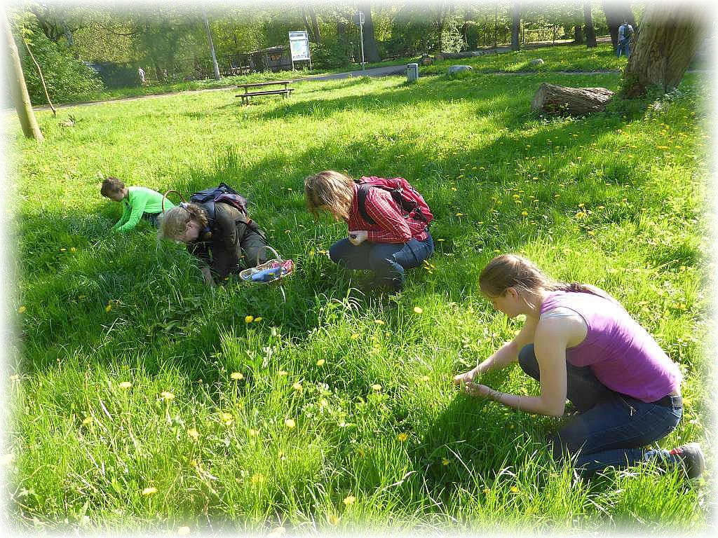 Im hohen Gras waren die zahlreichen Maipilze vor Sonne und Wind einigermaßen geschützt und waren dadurch, trotzt des trockenwarmen Wetters noch recht gut in der Qualität.